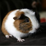 Guinea Pig, Photo by Jay Reed
