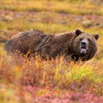 Grizzly Bear in Denali National Park. Photo by Jean-Pierre Lavoie, Wikimedia Commons.